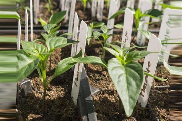 تولید گیاهان عاری از ویروس با کشت بافت