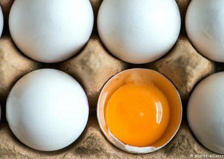 تولید تخم مرغ غنی شده بجای مکمل اسید فولیک