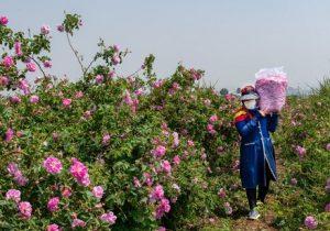 فعالان حوزه گل محمدی شناسایی میشوند