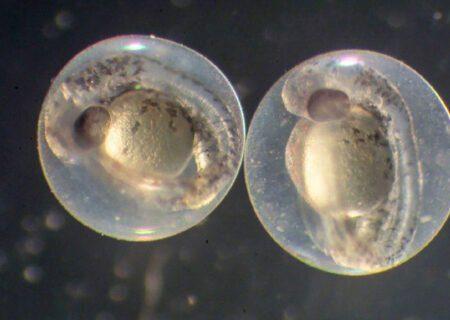 استاندارد ملی ارزیابی سمیت نانو مواد با استفاده از جنین ماهی تصویب شد