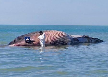 سرنوشتی که برای دو نهنگ در سال ۹۹ رقم خورد؛ ایجاد شبکه امدادرسانی ونجات برای به گلنشستهها/برنامههای تحقیقاتی پایش برایپستانداران دریایی