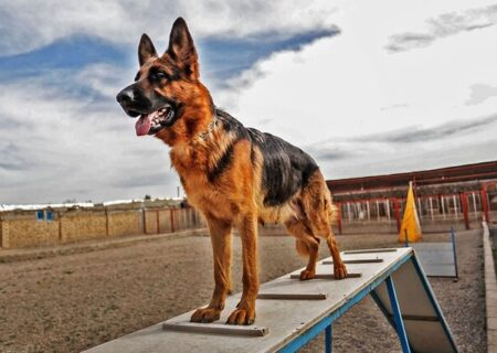 ارائه یک روش جراحی برای تعویض مفصل لگن آسیب دیده سگها